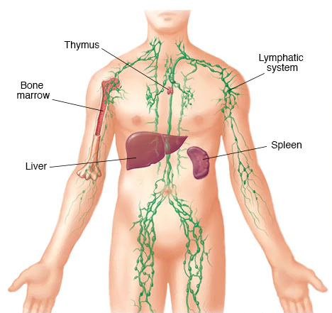 Your body's lymphatic system is part of your immune system, which protects you against infection and disease...